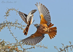Isabelline Shrike and Rock Thrush - fighting () Tags: rock canon bin 1d sultan fighting 500mm iv thrush splendid shrike     isabelline 1div