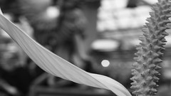 dot caught lily (bijoubaby) Tags: flowers light bw abstract blur flower texture nature lines statue angel garden blackwhite wings soft waves dof lily bokeh curves nursery bumpy dot petal shade hammock stamen blkwht abstraction extended curve delicate valhalla myview linear cradle greyscale protected speck angelwings frail curvilinear frenchtickler extend purge molbaks rhymeswithorange netneutrality sooc purgeprotected p279 matters2me