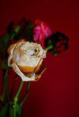 DSC08040 (lukebushnellwye) Tags: pink flowers red roses stilllife white flower rose