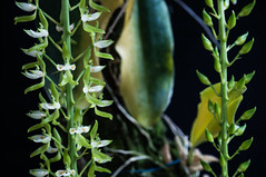 Notylia Fragrans... (Jos Pestana) Tags: orchid orquidea orchidace notyliafragrans