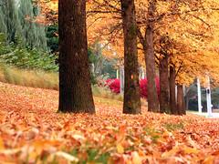 Autumn Carpet (labutle) Tags: autumn trees orange fall leaves yellow oregon jalalspagesnaturealbum platinumheartaward