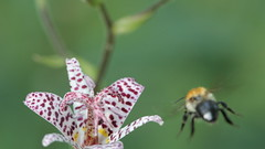 Ready to land! (Nicolas Hoizey) Tags: orchid flower macro fleur insect fly bumblebee land vol orchide approche bourdon approch