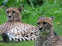Cheetahs! (berryvantuijl) Tags: animals zoo belgium belgie planckendael 2007 dierentuin blueribbonwinner supershot jalalspagesanimalkingdom berryvantuijl coolestphotographers