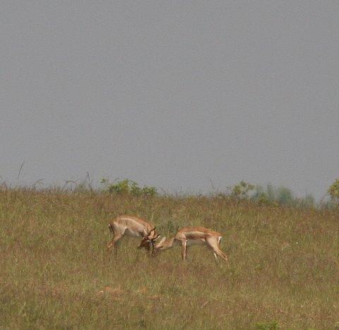 blackbucks fighting mydenahalli 091107
