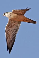 032054-IMG_4811 Grey Falcon (Falco hypoleucos) (ajmatthehiddenhouse) Tags: greyfalcon grayfalcon falcohypoleucos falco hypoleucos sa southaustralia bird 2007 australia