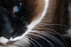 pink floyd:comfortably numb (visualpanic) Tags: pet animal cat gato athome acasa gat koshka 2007 desembre