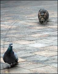 [フリー画像] [動物写真] [哺乳類] [ネコ科] [猫/ネコ] [鳥類] [鳩/ハト]     [フリー素材]