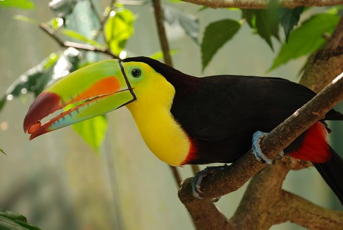 toucan eating a peanut