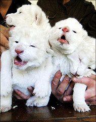 Lions Cubs, White Lions Cubs, (gsb_viva) Tags: superb unique class lions wildanimals natureanimals shaani beautifulcapture superbshot wildbeauties gsbviva uniqueclass superbclass