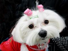 Chun (tanakawho) Tags: red portrait dog pet white eye animal closeup nose furry coat fluffy clip maltese tanakawho