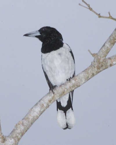 Hooded Butcherbird (Cracticus cassicus) by Lip Kee.