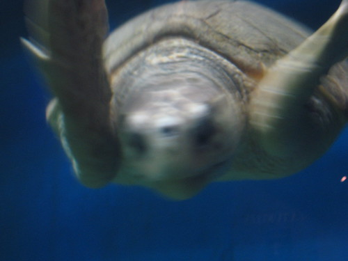 VA Aquarium - Turtle Says Hello