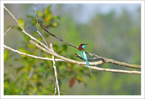 one Bee-eater