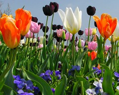 Sending out a Virtual Bouquet  :-) (jelee_unleashed) Tags: flowers colour floral beauty tulips vivid bloom whiterock breathtaking breathtakinggoldaward