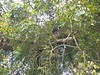 96.11.16竹崎鄉光華村茄苳風景區內的茄苳老樹DSCN3227