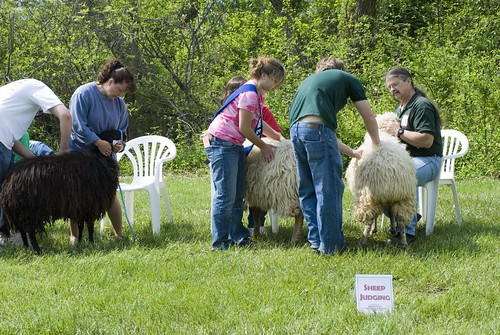 Youth judge a class of Karakul yearling ewes (image by Larry Fisher)