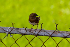 Rusty bird on a rusty chainlink (bahketni) Tags: bird towhee easterntowhee explored femaleeasterntowhee canon40deosbahketni