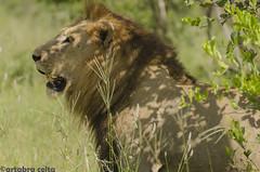 Lion (artabracelta) Tags: lion male leon animal naturaleza nature viaje travel safari summer verano portrait retrato africa sudafrica southafrica kruger satara skukuza teleobjetivo tamron 70300 nikon d5100