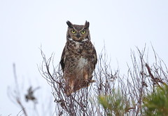 Great horned owl (charlescpan) Tags: