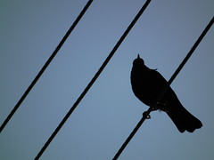 Crow (CyanCammy) Tags: crow cammy hs10 cyancammy