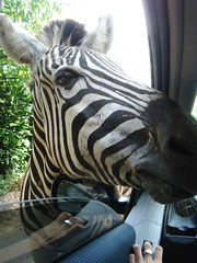 Zebra inside car