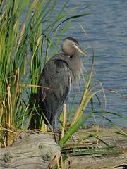 Great blue heron , Riefel bird sanctuary (canuck4everr) Tags: bird nikon iso400 feather ardea d200 f11 greatblueheron herodias ardeaherodias 420mm ures2 hpexif 0001sec 033ev riefelbirdsanctuary xres300 yres300