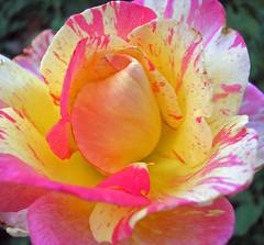 beautiful imperfection (itucker, thanks for 1.8+ million views) Tags: rose excellence splendiferous frhwofavs theperfectphotographer