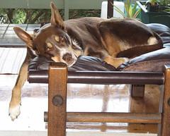 lazy kelpie (cskk) Tags: dog brown australian australia cassie lazy rspca kelpie rescuedog