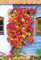 Colorful Leaves (Claude@Munich) Tags: autumn fall colors leaves bayern bavaria colorful colours wine laub herbst explore colourful bltter wein farbenfroh claudemunich herbstfrbung explore189071029