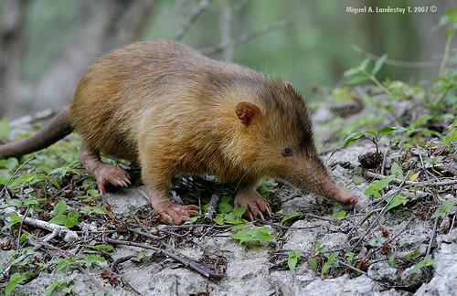 Solenodon paradoxus (photo linked from The Mantis Shrimp blog)
