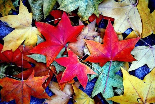 Red leaves/ 香山红叶