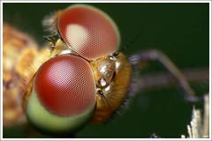 Macro Lumix FZ30 DCR250 FL28 Two.Big.Eyes (sam4605) Tags: macro lumix dragonfly panasonic fz30 dcr250 raynox fl28 wonderfulworldofmacro sam4605