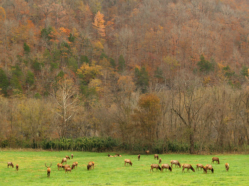 Elk at Boxley