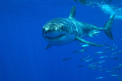 I'm looking at you (ScottS101) Tags: white mexico shark pacific teeth jaws baja endangered guadalupe predator allrightsreserved carcharias threatened carcharadon solmar onephotoweeklycontest copyrightscottsansenbach2008