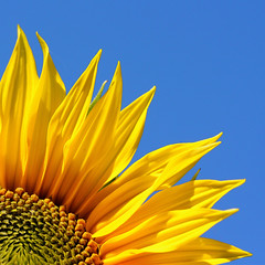 Always look on the bright side of life! (cattycamehome) Tags: blue summer sky orange sun flower macro green floral sunshine yellow tag3 taggedout happy petals lyrics tag2 colours tag1 bright blossom song joy sunny seeds montypython heat sunflower 333 breezy excellence catherineingram xoxoxox abigfave anawesomeshot cattycamehome flickrplatinum january2008 superbmasterpiece diamondclassphotographer bratanesque singalongacatty isoneededthat