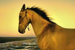 golden glow (Dan65) Tags: horse gold golden trot canter mane gallop buckskin dun teke akhal akhalteke abigfave gazan superbmasterpiece diamondclassphotographer