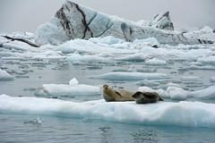 Siesta (Ingiro) Tags: ice landscape iceland lagoon glacier seal jokulsarlon vatnajokull icelandic islanda ingiro i500 nterestingness195