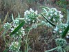 Wild flowers of Sahyadri