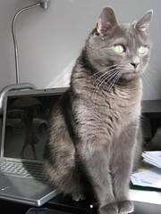 IMG_0789 (Leya :P) Tags: portrait cats green cat computer grey office mac furry desk greeneyes regal sittingcat macbookpro