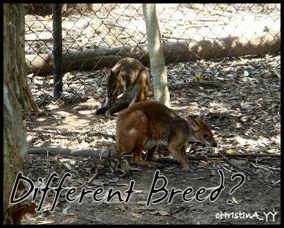 Kangaroo: Different Breed?