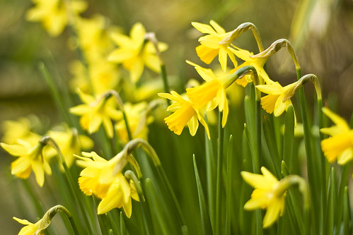 daffodils poem. Daffodils Poem Pictures