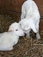 Twin Katahdin lambs