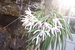 Leptotes bicolor (dwittkower) Tags: orchid flower flora orchids orchidaceae species orquideas orchidée leptotes orqudea