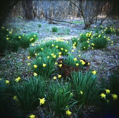 hello Holga (huckleberryblue) Tags: flowers green holga spring northcarolina daffodil carolina portra800 kodakportra800 enoriverstatepark utatafeature orangecountync