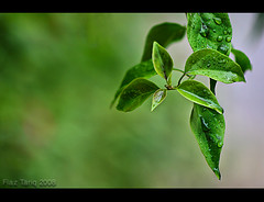Spring (Fiaz Tariq) Tags: pakistan green rain rainyday earlymorning punjab leafs lahore mynewlens canon400d fiaztariq