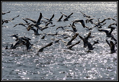 Chaos.. | Sea Gulls (Kiran Pilly) Tags: lake bird water ferry fly stream ride seagull gull goa together confuse sonydsch2