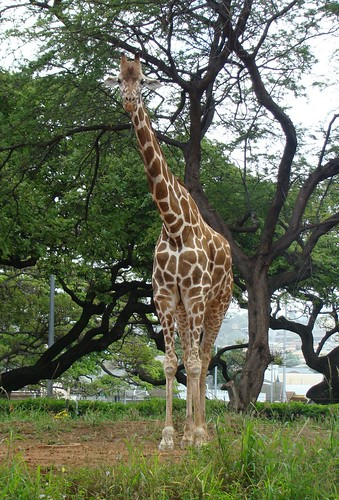 Reticulated Giraffe at Honolulu Zoo