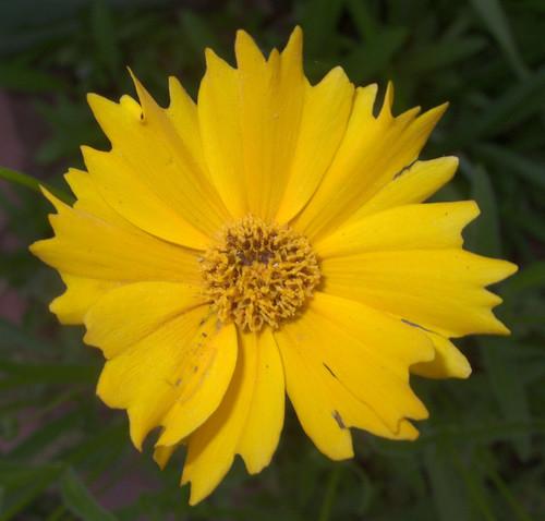 Daisy Cultivar