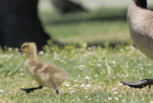 First gosling of the season
