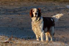 Beautiful Dog (evisdotter) Tags: dog hund pet animal beach nature sooc winter light sundaylights